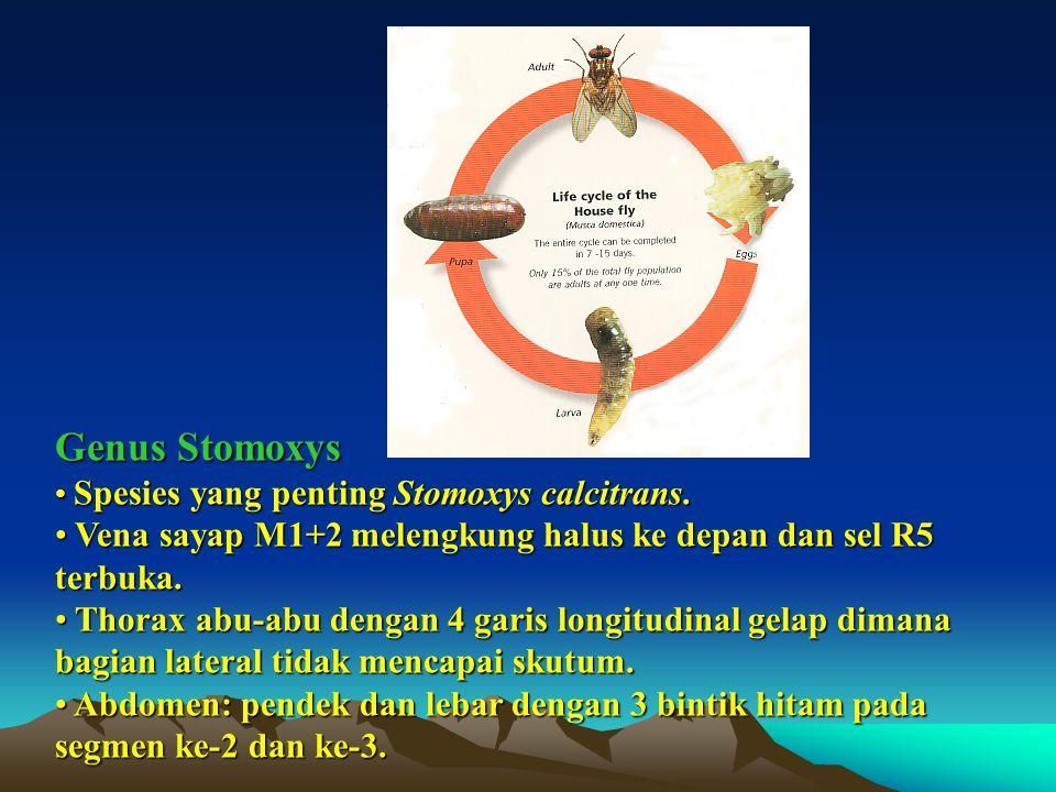 Genus Stomoxys Spesies yang penting Stomoxys calcitrans. Spesies yang penting Stomoxys calcitrans. Vena sayap M1+2 melengkung halus ke depan dan sel R