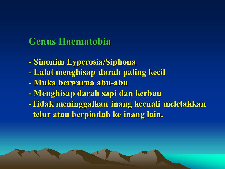Genus Haematobia - Sinonim Lyperosia/Siphona - Lalat menghisap darah paling kecil - Muka berwarna abu-abu - Menghisap darah sapi dan kerbau -Tidak meninggalkan inang kecuali meletakkan telur atau berpindah ke inang lain.