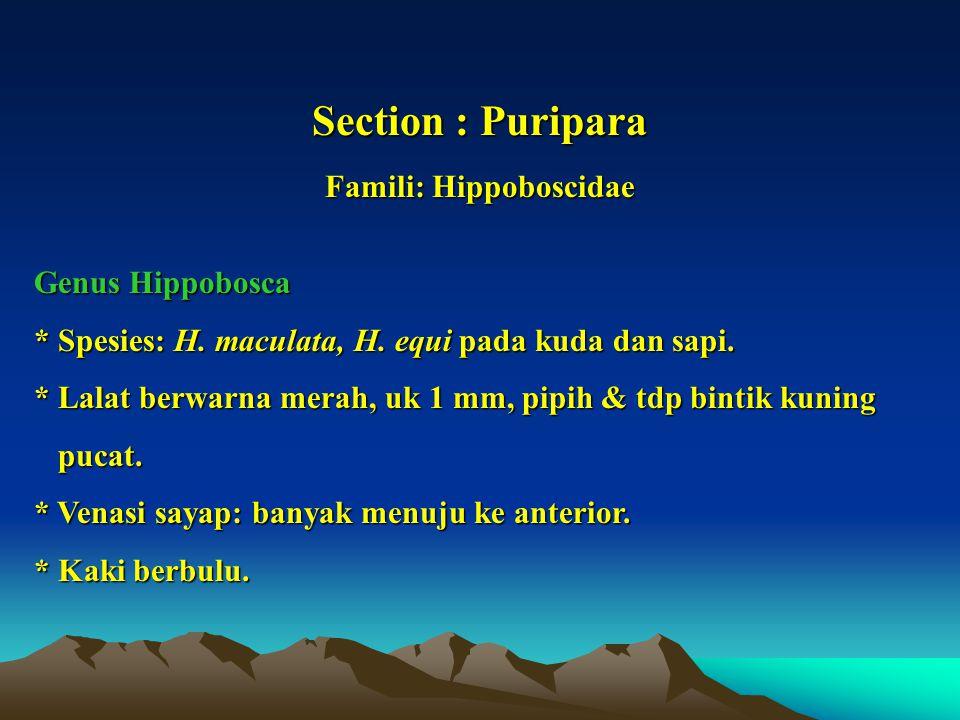 Section : Puripara Famili: Hippoboscidae Genus Hippobosca * Spesies: H. maculata, H. equi pada kuda dan sapi. * Lalat berwarna merah, uk 1 mm, pipih &
