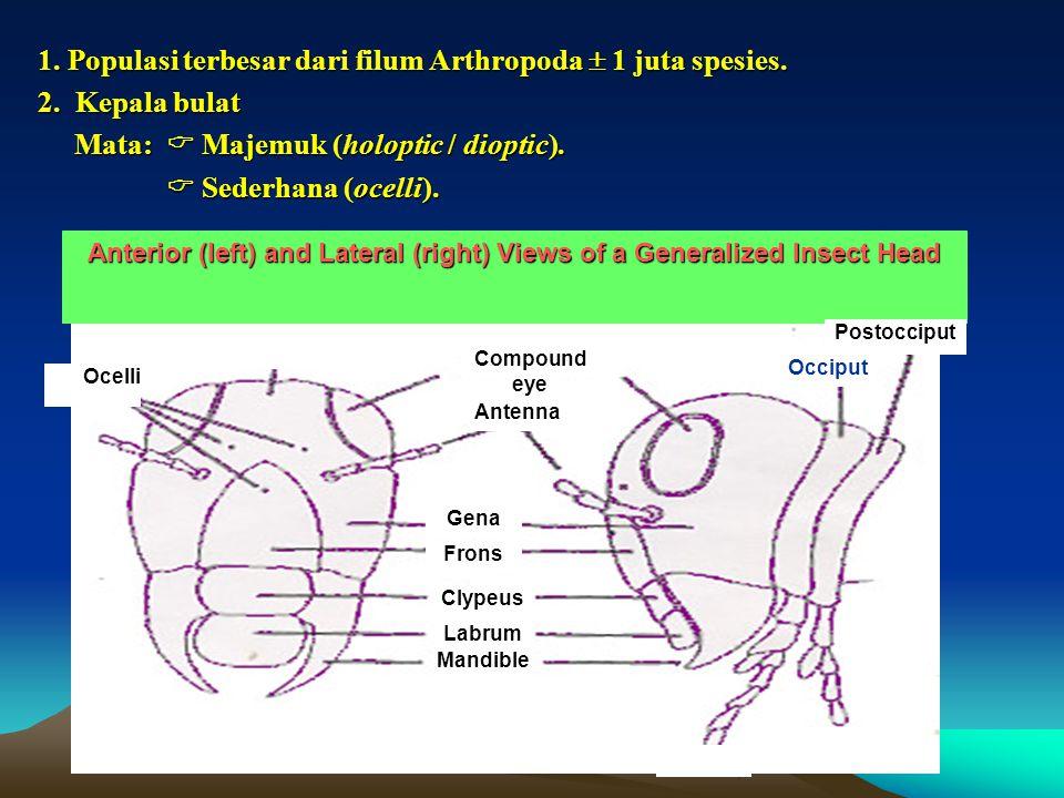 1. Populasi terbesar dari filum Arthropoda  1 juta spesies. 2. Kepala bulat Mata:  Majemuk (holoptic / dioptic). Mata:  Majemuk (holoptic / dioptic