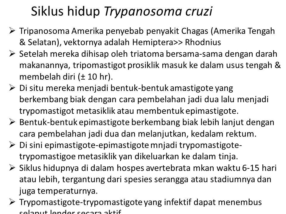 Siklus hidup Trypanosoma cruzi  Tripanosoma Amerika penyebab penyakit Chagas (Amerika Tengah & Selatan), vektornya adalah Hemiptera>> Rhodnius  Sete
