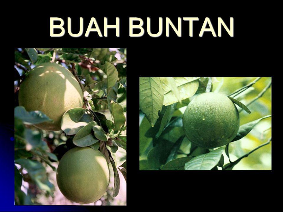 BUAH BUNTAN