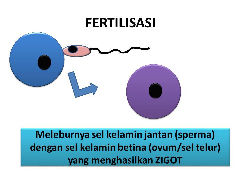 FERTILISASI Meleburnya sel kelamin jantan (sperma) dengan sel kelamin betina (ovum/sel telur) yang menghasilkan ZIGOT