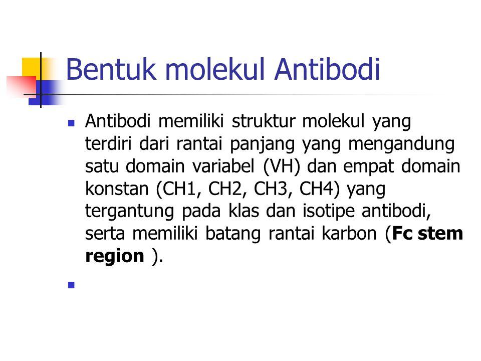 Bentuk molekul Antibodi Antibodi memiliki struktur molekul yang terdiri dari rantai panjang yang mengandung satu domain variabel (VH) dan empat domain