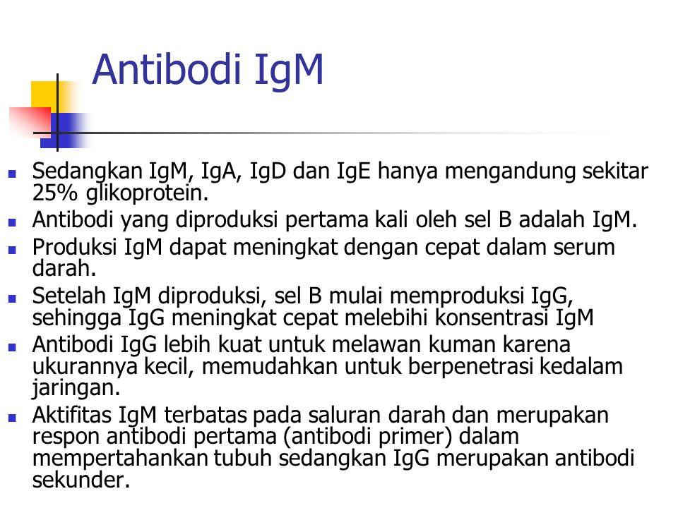 Antibodi IgM Sedangkan IgM, IgA, IgD dan IgE hanya mengandung sekitar 25% glikoprotein. Antibodi yang diproduksi pertama kali oleh sel B adalah IgM. P