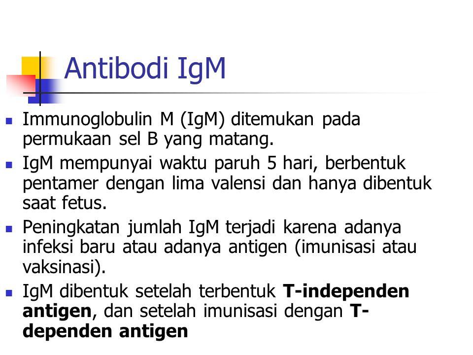 Antibodi IgM Immunoglobulin M (IgM) ditemukan pada permukaan sel B yang matang. IgM mempunyai waktu paruh 5 hari, berbentuk pentamer dengan lima valen