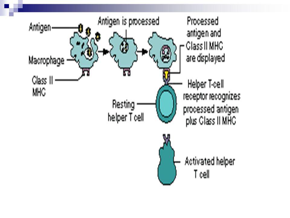 Aktivasi sel B Ikatan sel B dengan fragmen antigen yang diikat oleh protein MHC klas II pada permukaannya.