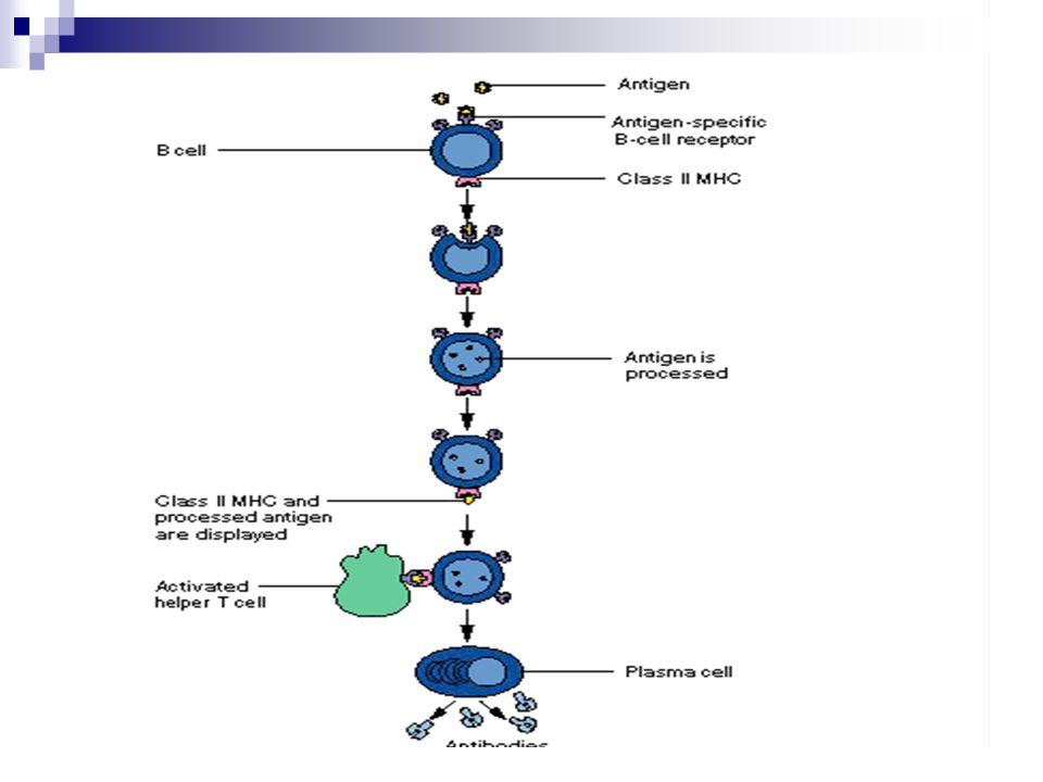 Proses respon imun secara keseluruhan Antigen masuk ke dalam tubuh → diikat oleh sel dendritic (DC) di permukaan sel melalui molekul Major Histocimpability Cell (MHC) kelas II → sel DC bermigrasi ke organ limfoid dan mengalami pematangan sel.