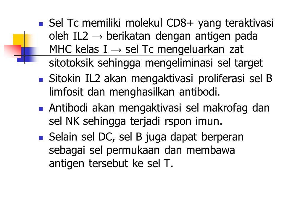 Sel Tc memiliki molekul CD8+ yang teraktivasi oleh IL2 → berikatan dengan antigen pada MHC kelas I → sel Tc mengeluarkan zat sitotoksik sehingga menge