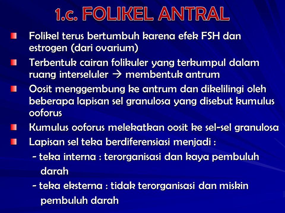 Folikel terus bertumbuh karena efek FSH dan estrogen (dari ovarium) Terbentuk cairan folikuler yang terkumpul dalam ruang interseluler  membentuk ant