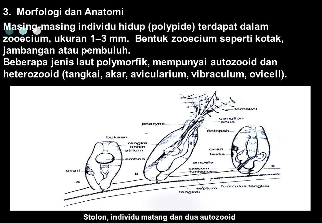 3. Morfologi dan Anatomi Stolon, individu matang dan dua autozooid Masing-masing individu hidup (polypide) terdapat dalam zooecium, ukuran 1–3 mm. Ben