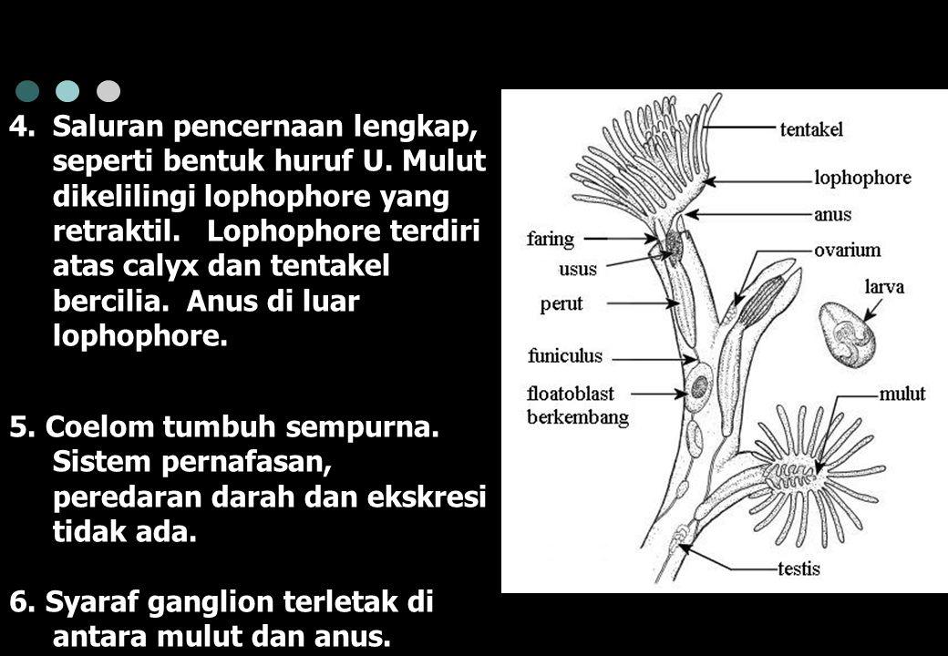 4.Saluran pencernaan lengkap, seperti bentuk huruf U. Mulut dikelilingi lophophore yang retraktil. Lophophore terdiri atas calyx dan tentakel bercilia
