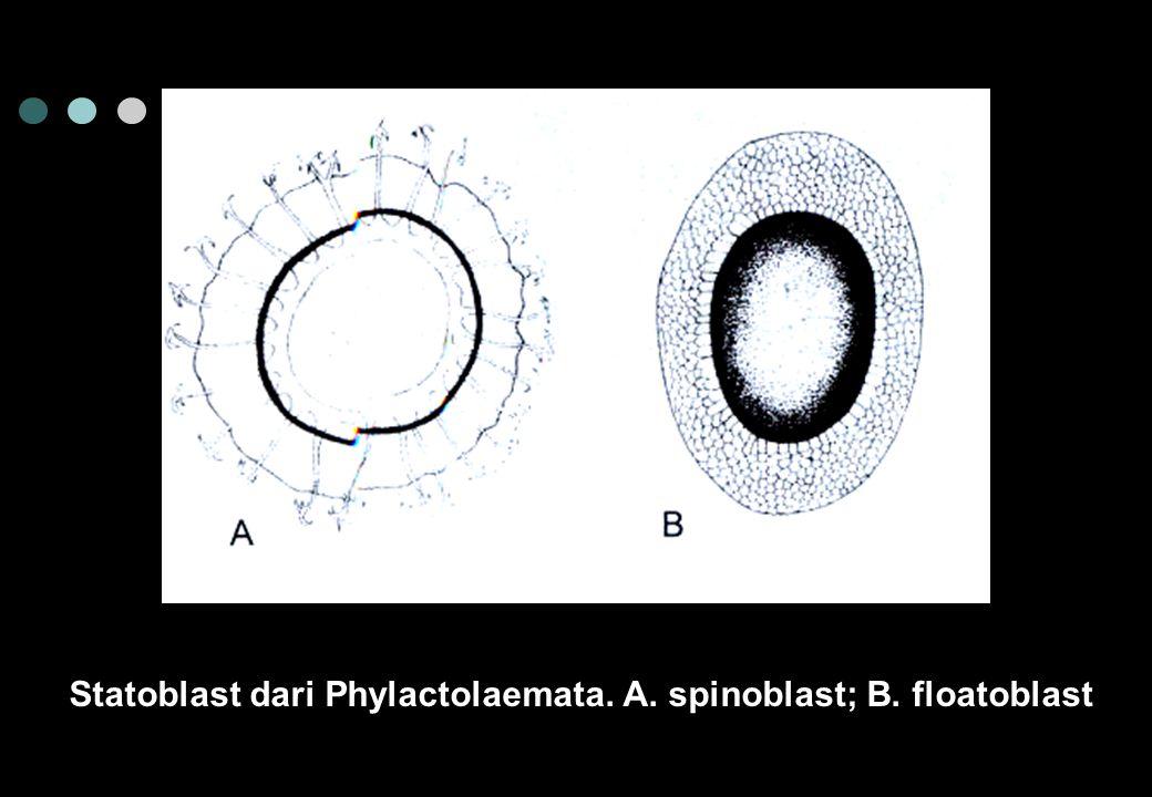 Statoblast dari Phylactolaemata. A. spinoblast; B. floatoblast