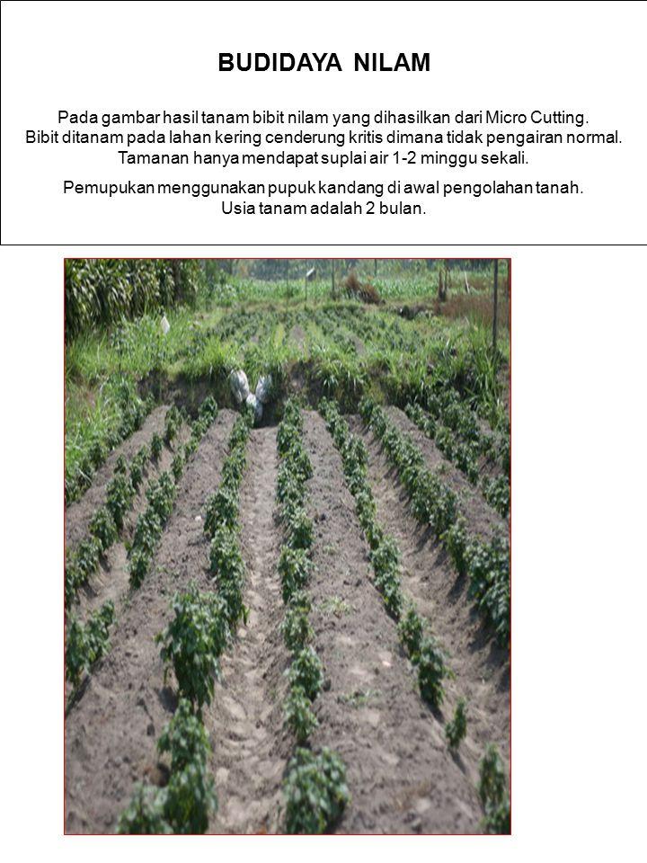 BUDIDAYA NILAM Pada gambar hasil tanam bibit nilam yang dihasilkan dari Micro Cutting. Bibit ditanam pada lahan kering cenderung kritis dimana tidak p