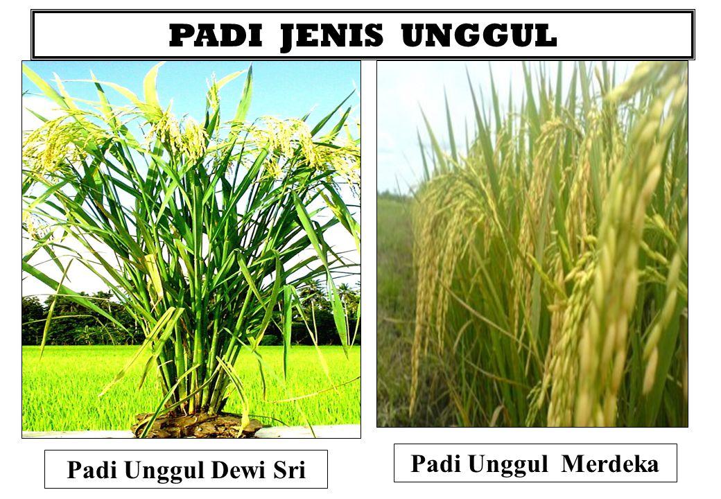 PADI JENIS UNGGUL Padi Unggul Dewi Sri Padi Unggul Merdeka