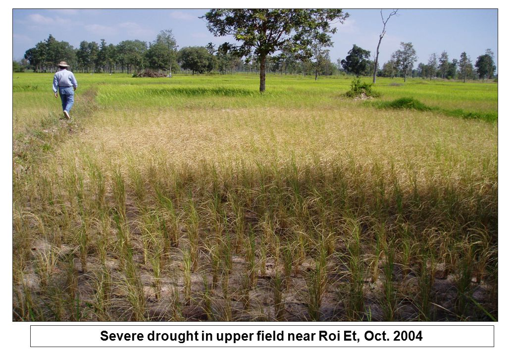 Severe drought in upper field near Roi Et, Oct. 2004