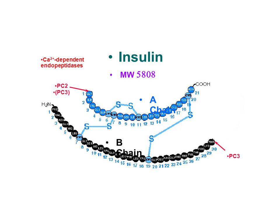C peptide Proinsuli n Insulin MW  Ca 2+ -dependent endopeptidases A Chain B Chain PC2 (PC3) PC3