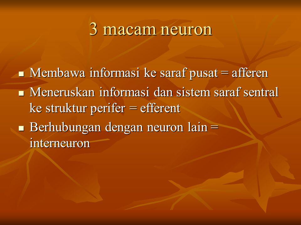 3 macam neuron Membawa informasi ke saraf pusat = afferen Membawa informasi ke saraf pusat = afferen Meneruskan informasi dan sistem saraf sentral ke