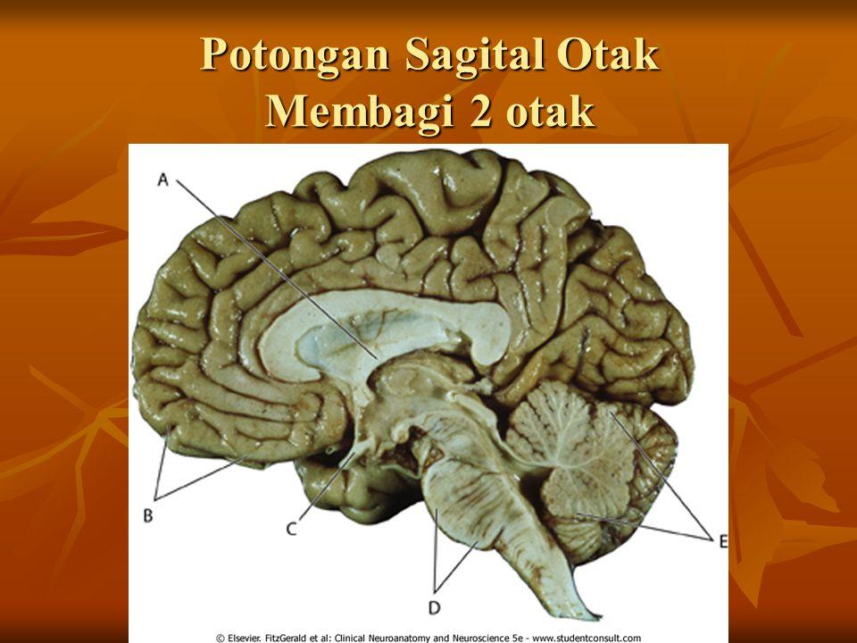 Potongan Sagital Otak Membagi 2 otak