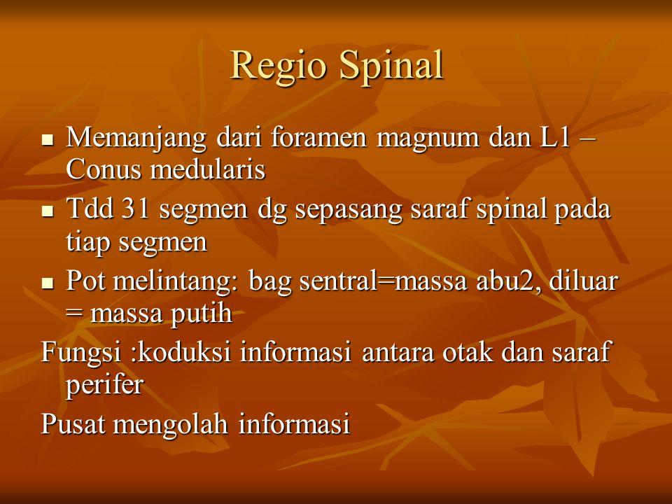 Regio Spinal Memanjang dari foramen magnum dan L1 – Conus medularis Memanjang dari foramen magnum dan L1 – Conus medularis Tdd 31 segmen dg sepasang s