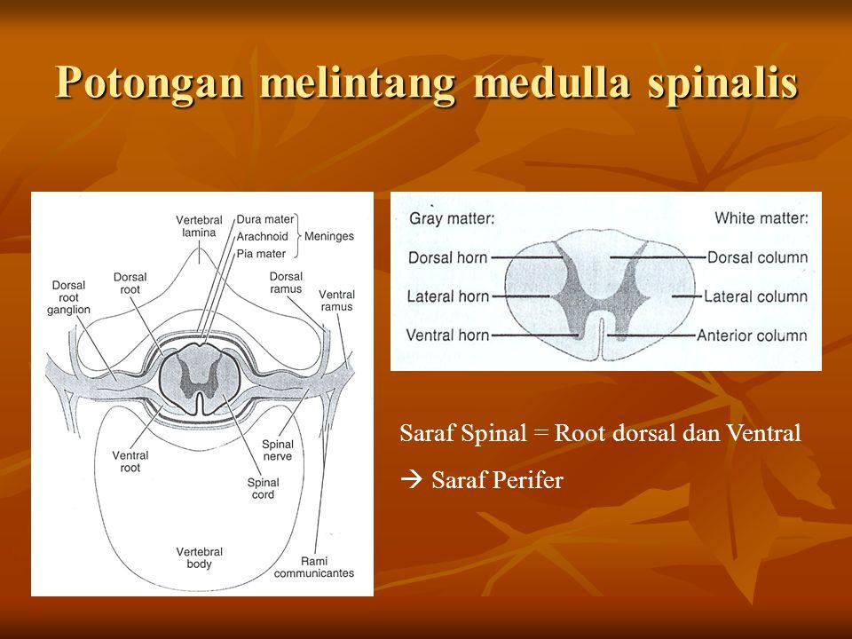Potongan melintang medulla spinalis Saraf Spinal = Root dorsal dan Ventral  Saraf Perifer