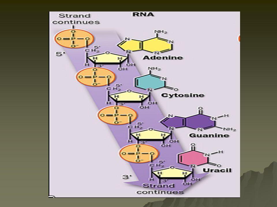  hnRNA  heterogeonous nuclear RNA  merupakan hasil transkripsi langsung dr DNA  mRNA  –telah mengalami proses posttranskripsi  menghilangkan intron  informasi genetik  dlm btk codon  informasi genetik  dlm btk codon (urutan 3 nukleotida) (urutan 3 nukleotida)  rRNA  –Komponen ribosom dimana translasi berlangsung  tRNA  –Menerjemahkan kode genetik –Menghubungkan antara asam nukleat dengan asam amino  protein  snRNA  –Small nuclear RNA  membantu proses splicing dalam post transkripsi proses