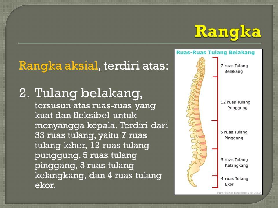 Rangka aksial, terdiri atas: 2.Tulang belakang, tersusun atas ruas-ruas yang kuat dan fleksibel untuk menyangga kepala. Terdiri dari 33 ruas tulang, y