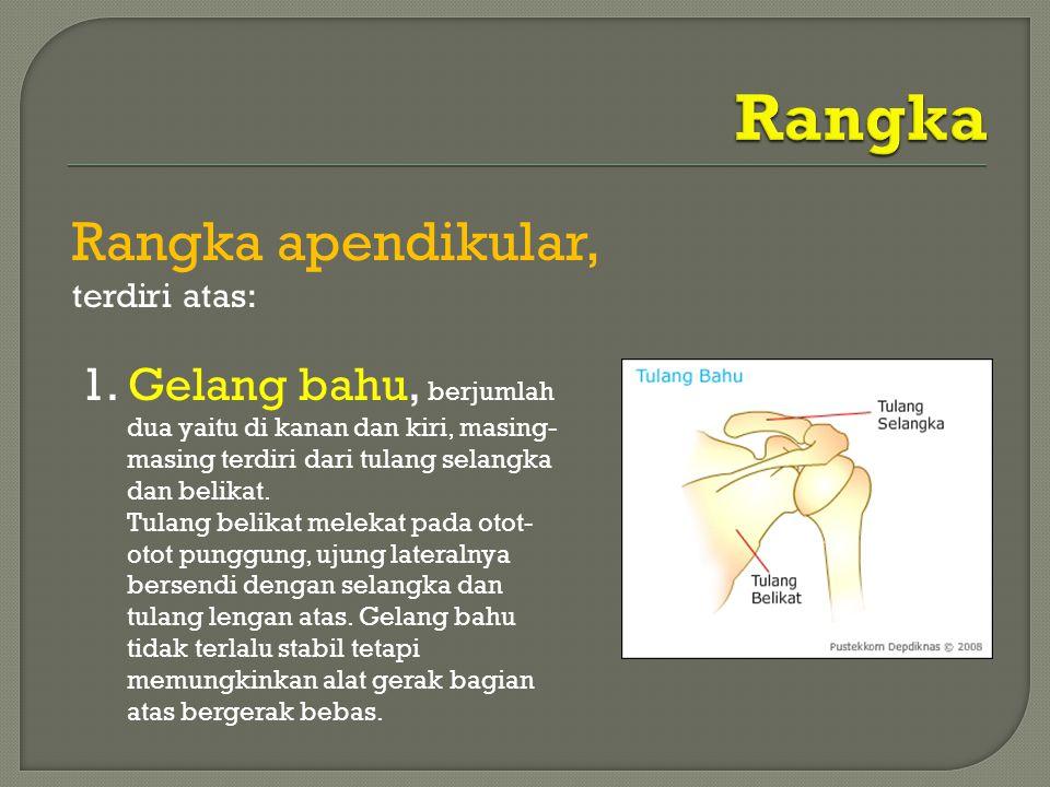 Rangka apendikular, terdiri atas: 1. Gelang bahu, berjumlah dua yaitu di kanan dan kiri, masing- masing terdiri dari tulang selangka dan belikat. Tula