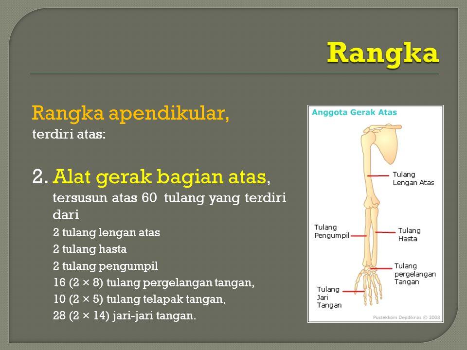 Rangka apendikular, terdiri atas: 2. Alat gerak bagian atas, tersusun atas 60 tulang yang terdiri dari 2 tulang lengan atas 2 tulang hasta 2 tulang pe
