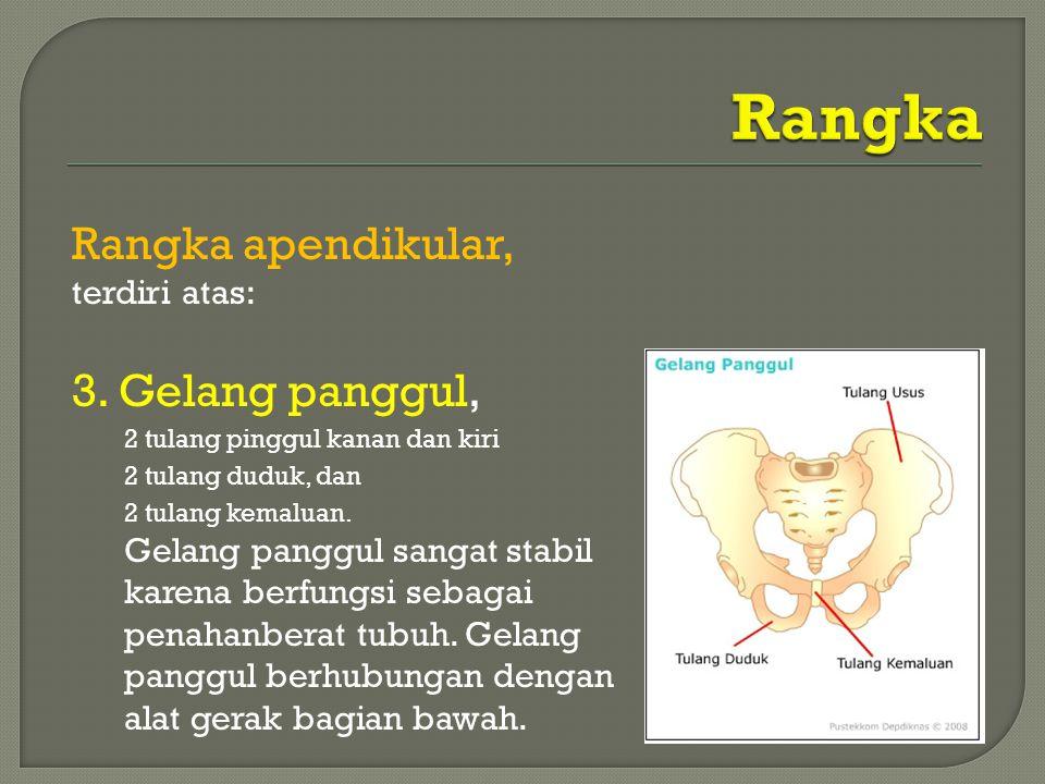 Rangka apendikular, terdiri atas: 3. Gelang panggul, 2 tulang pinggul kanan dan kiri 2 tulang duduk, dan 2 tulang kemaluan. Gelang panggul sangat stab