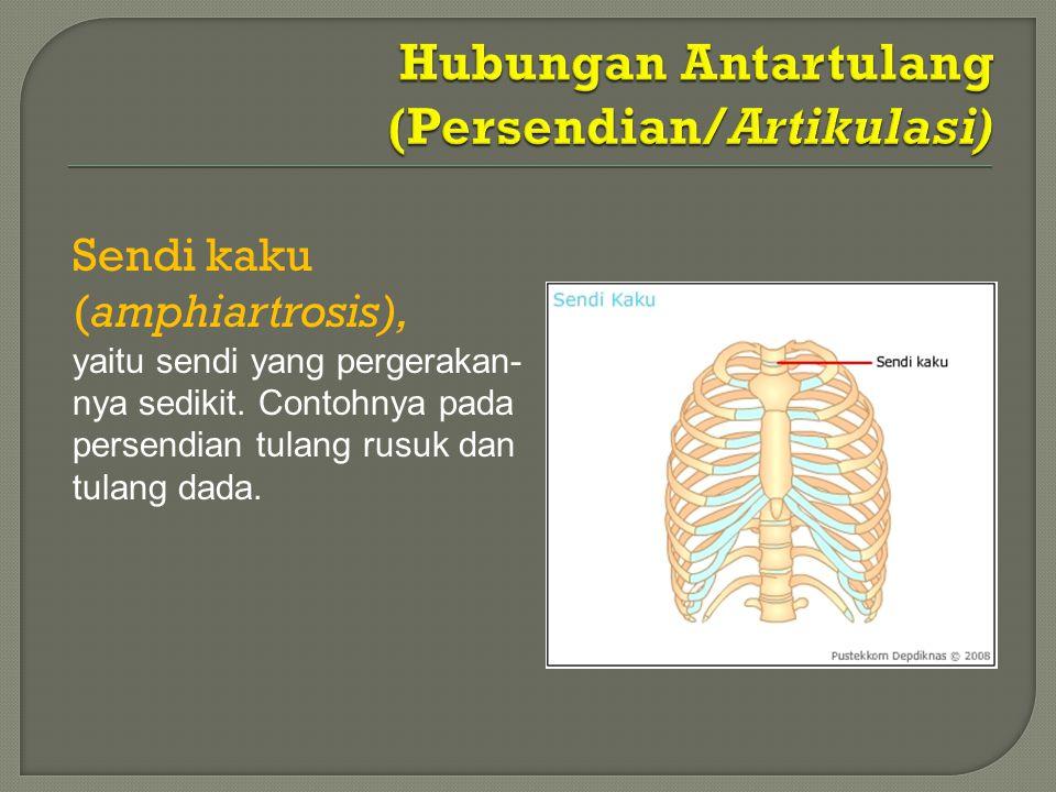 Sendi kaku (amphiartrosis), yaitu sendi yang pergerakan- nya sedikit. Contohnya pada persendian tulang rusuk dan tulang dada.