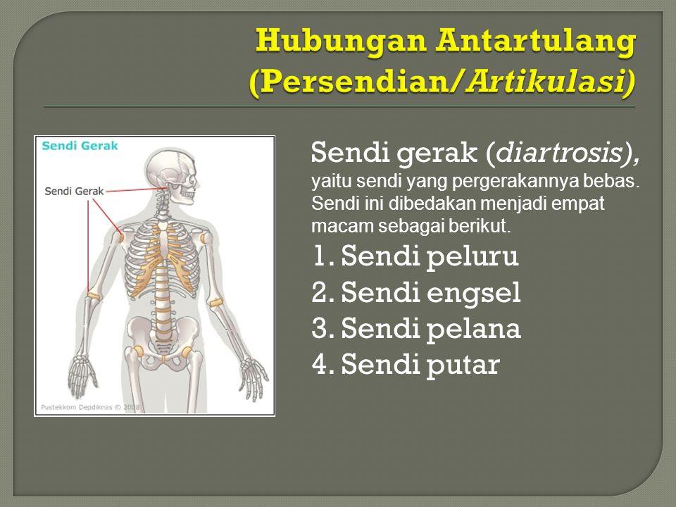 Sendi gerak (diartrosis), yaitu sendi yang pergerakannya bebas. Sendi ini dibedakan menjadi empat macam sebagai berikut. 1. Sendi peluru 2. Sendi engs