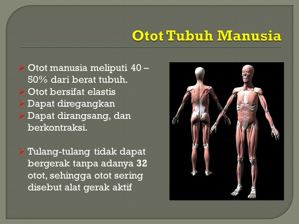  Otot manusia meliputi 40 – 50% dari berat tubuh.  Otot bersifat elastis  Dapat diregangkan  Dapat dirangsang, dan berkontraksi.  Tulang-tulang t