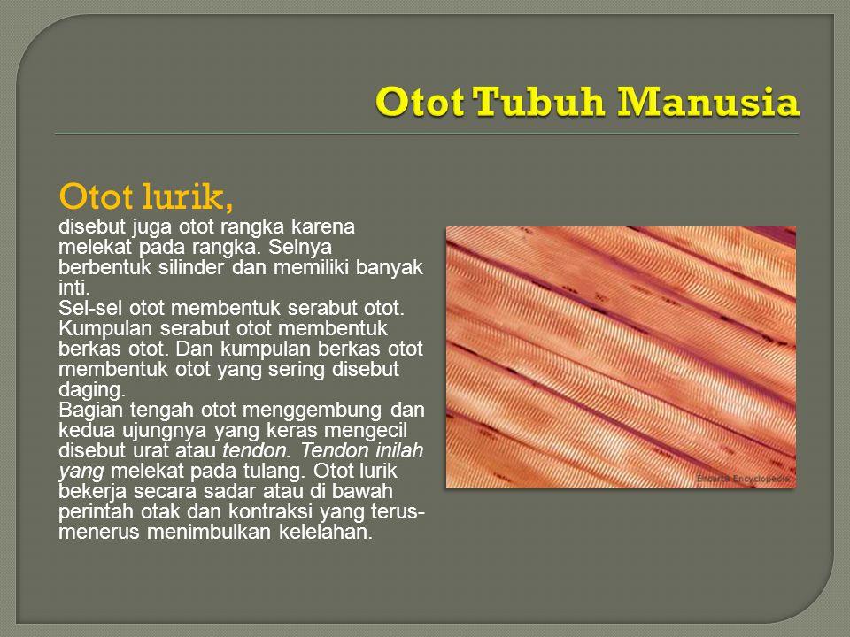 Otot lurik, disebut juga otot rangka karena melekat pada rangka. Selnya berbentuk silinder dan memiliki banyak inti. Sel-sel otot membentuk serabut ot