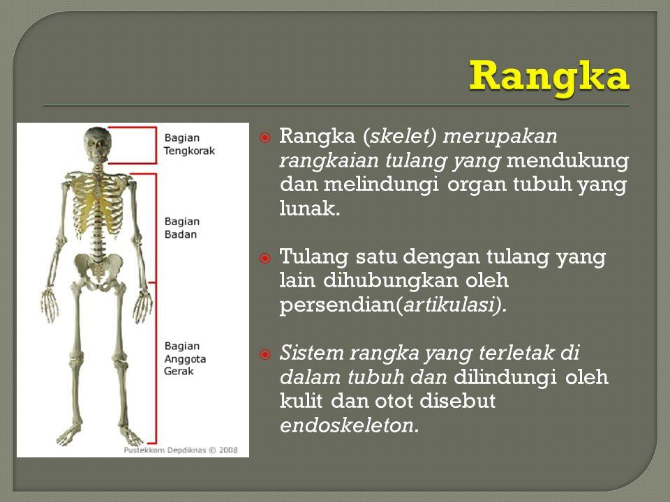  Rangka (skelet) merupakan rangkaian tulang yang mendukung dan melindungi organ tubuh yang lunak.  Tulang satu dengan tulang yang lain dihubungkan o