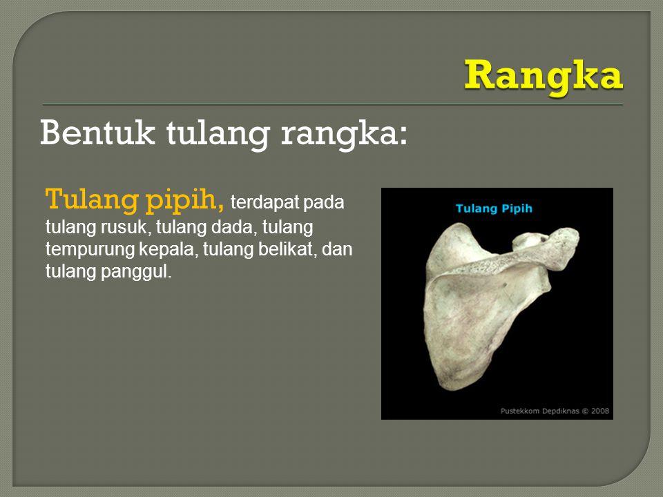 Bentuk tulang rangka: Tulang pipih, terdapat pada tulang rusuk, tulang dada, tulang tempurung kepala, tulang belikat, dan tulang panggul.