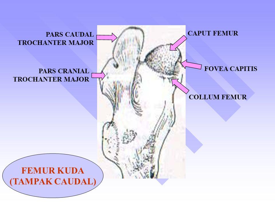 CAPUT FEMUR FOVEA CAPITIS COLLUM FEMUR PARS CAUDAL TROCHANTER MAJOR PARS CRANIAL TROCHANTER MAJOR FEMUR KUDA (TAMPAK CAUDAL)