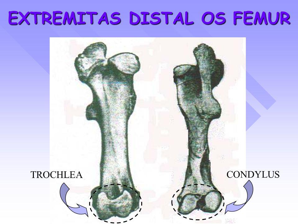 EXTREMITAS DISTAL OS FEMUR CONDYLUS TROCHLEA