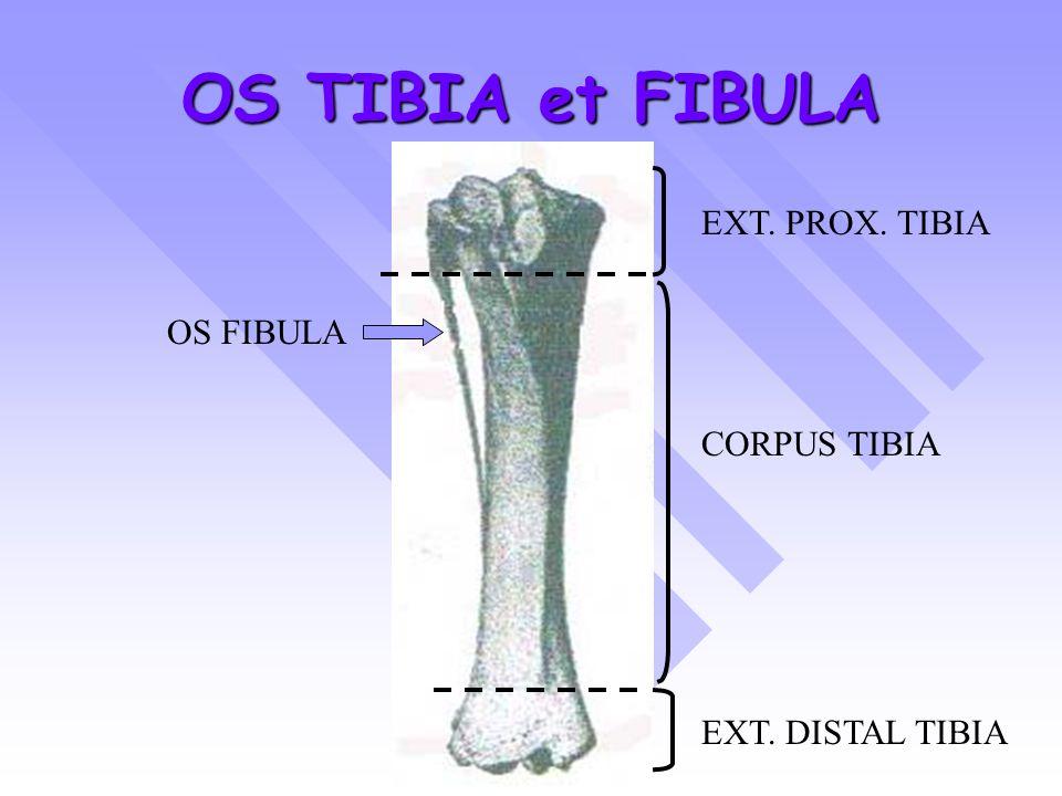 OS TIBIA et FIBULA EXT. PROX. TIBIA CORPUS TIBIA EXT. DISTAL TIBIA OS FIBULA