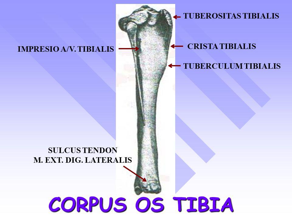 CORPUS OS TIBIA TUBEROSITAS TIBIALIS TUBERCULUM TIBIALIS CRISTA TIBIALIS IMPRESIO A/V.