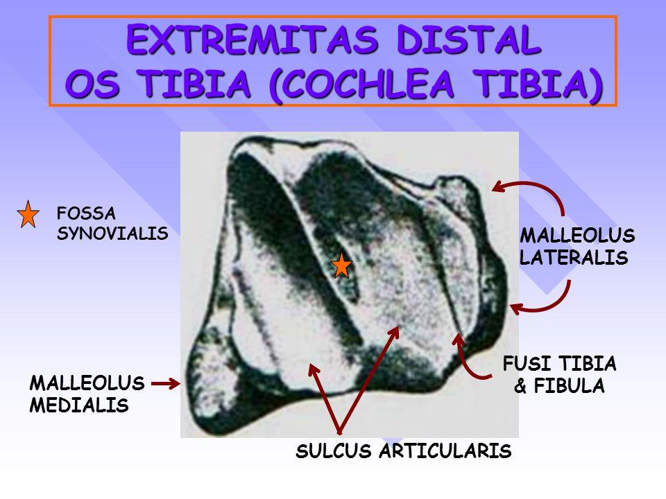 EXTREMITAS DISTAL OS TIBIA (COCHLEA TIBIA) MALLEOLUS LATERALIS MALLEOLUS MEDIALIS FUSI TIBIA & FIBULA SULCUS ARTICULARIS FOSSA SYNOVIALIS