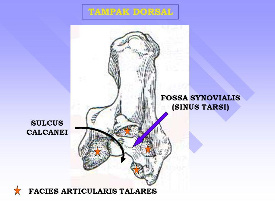 TAMPAK DORSAL SULCUS CALCANEI FACIES ARTICULARIS TALARES FOSSA SYNOVIALIS (SINUS TARSI)
