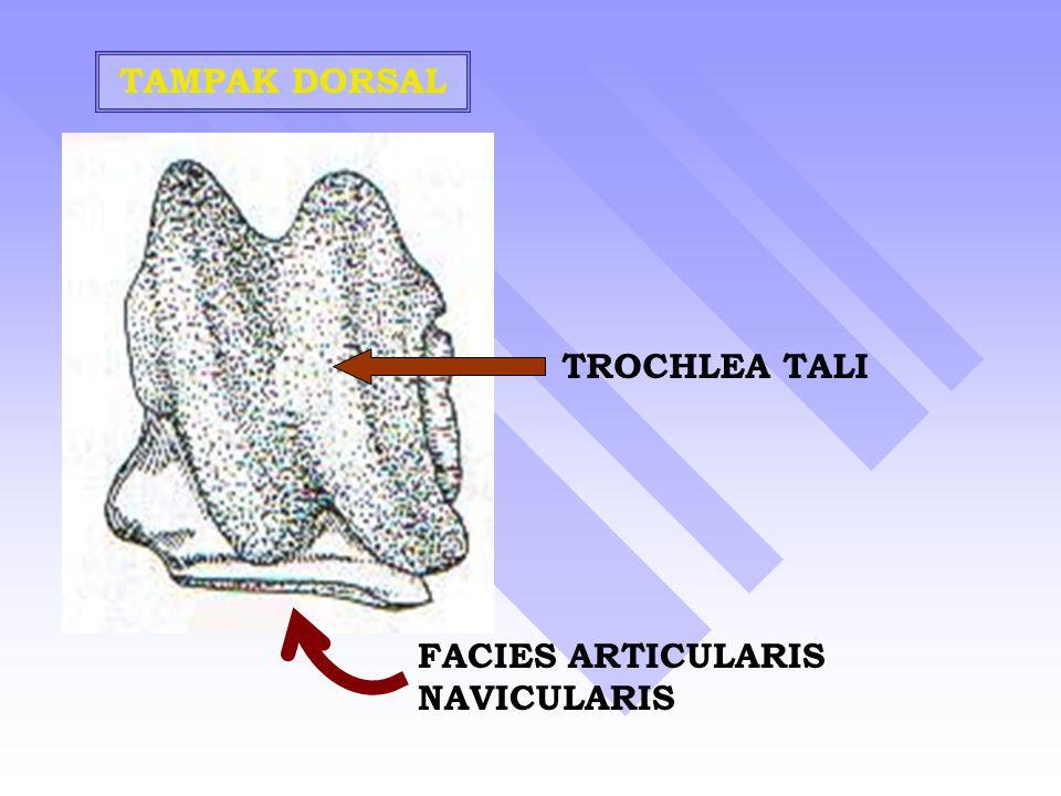 TAMPAK DORSAL TROCHLEA TALI FACIES ARTICULARIS NAVICULARIS