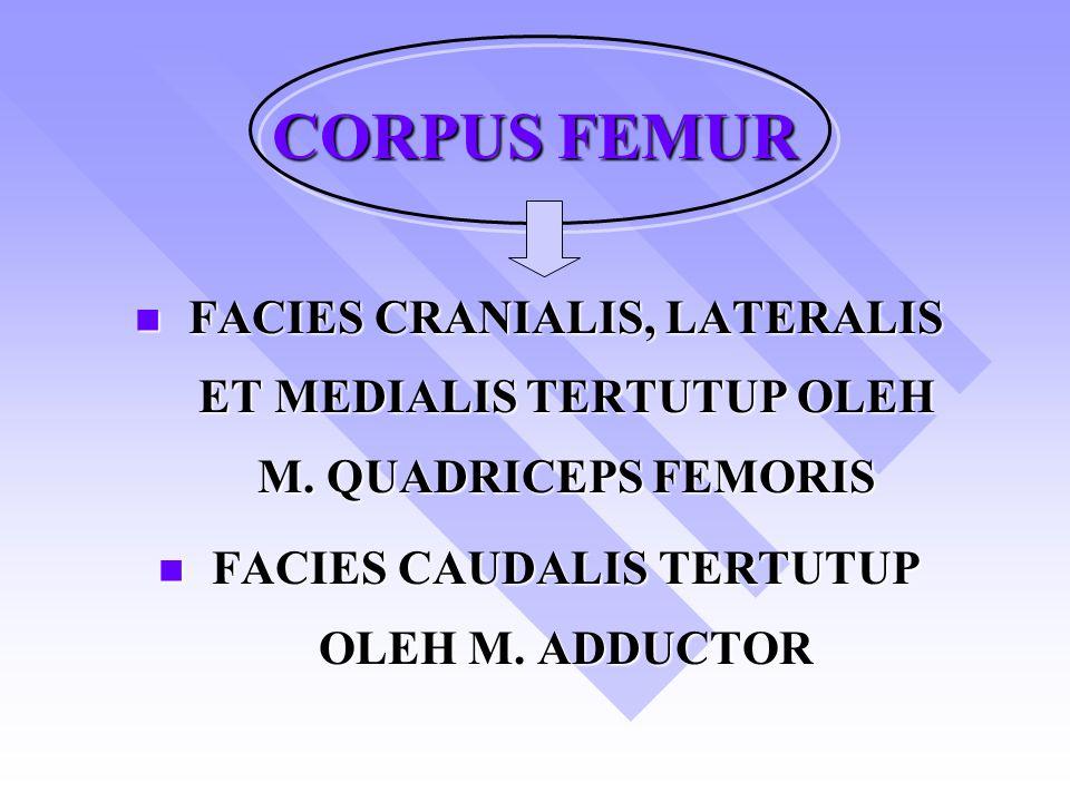 CORPUS FEMUR FACIES CRANIALIS, LATERALIS ET MEDIALIS TERTUTUP OLEH M.