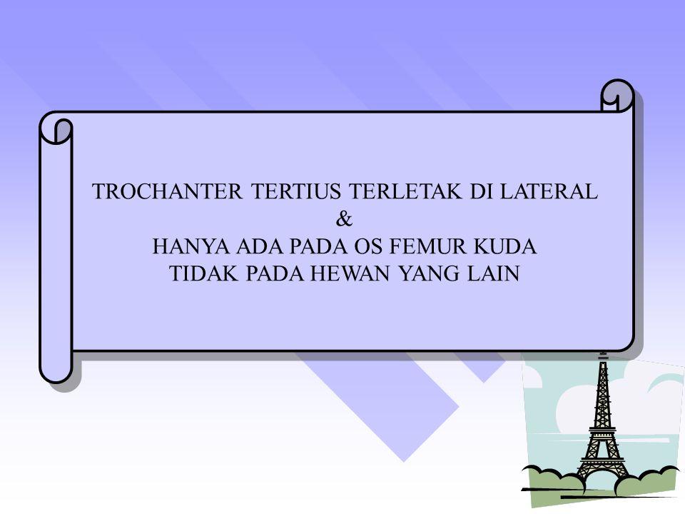 TROCHANTER TERTIUS TERLETAK DI LATERAL & HANYA ADA PADA OS FEMUR KUDA TIDAK PADA HEWAN YANG LAIN TROCHANTER TERTIUS TERLETAK DI LATERAL & HANYA ADA PADA OS FEMUR KUDA TIDAK PADA HEWAN YANG LAIN