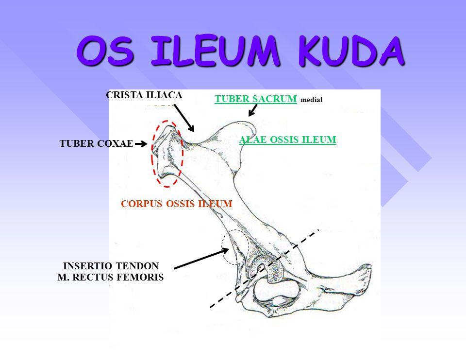 OS ILEUM KUDA TUBER SACRUMTUBER SACRUM medial TUBER COXAE CRISTA ILIACA CORPUS OSSIS ILEUM ALAE OSSIS ILEUM INSERTIO TENDON M. RECTUS FEMORIS