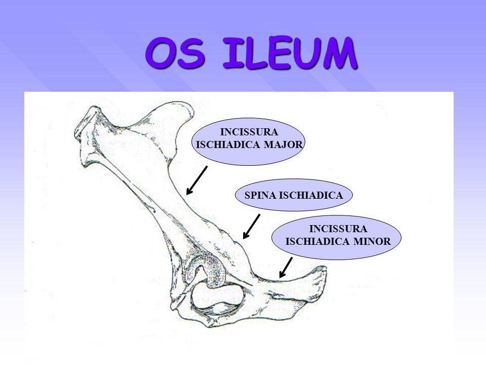 OS ISCHIUM SAPI ( tampak lateral) CORPUS TABULA INC. ISC. MINOR TUBER ISCHIADICUM SYMPHISIS PELVIS