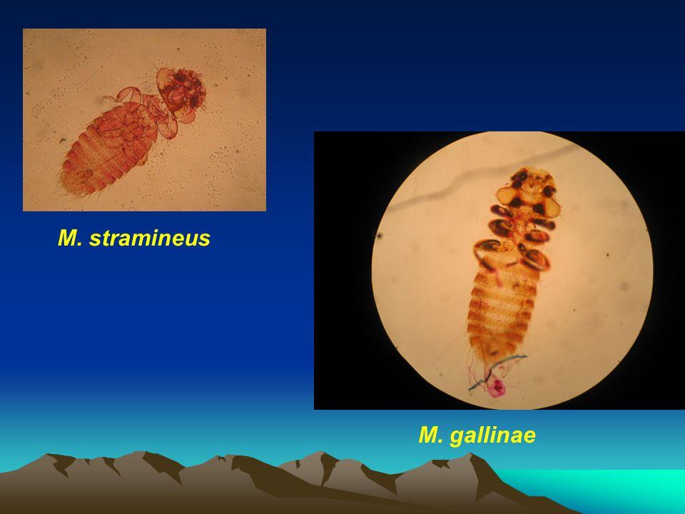 M. gallinae M. stramineus