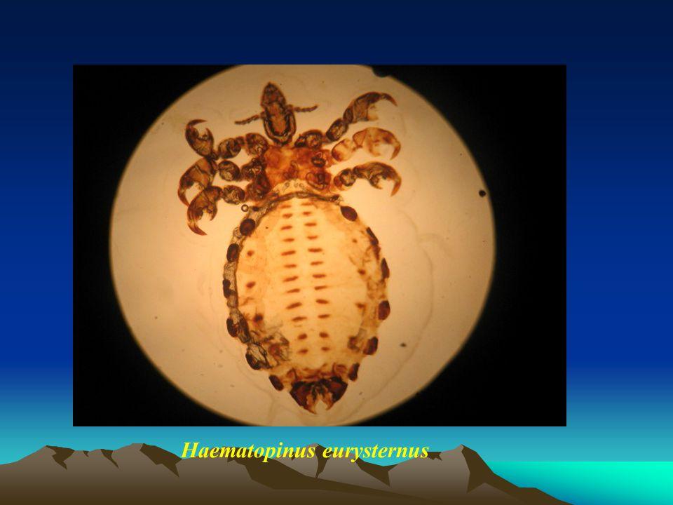 Haematopinus eurysternus