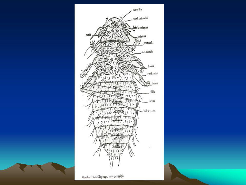 Famili: Haematopinidae Di belakang antena ada penonjolan.Di belakang antena ada penonjolan.
